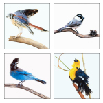 Click here for more information about Birds of the Mono Basin card set